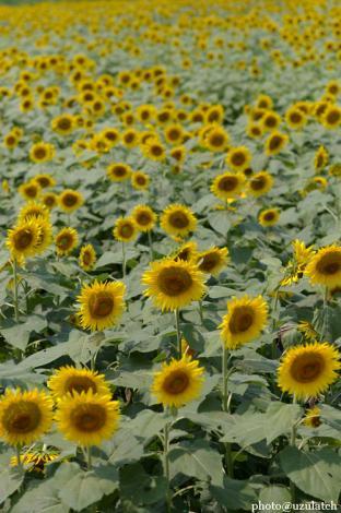 向日葵いっぱい