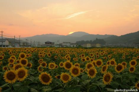 夕暮れの向日葵たち