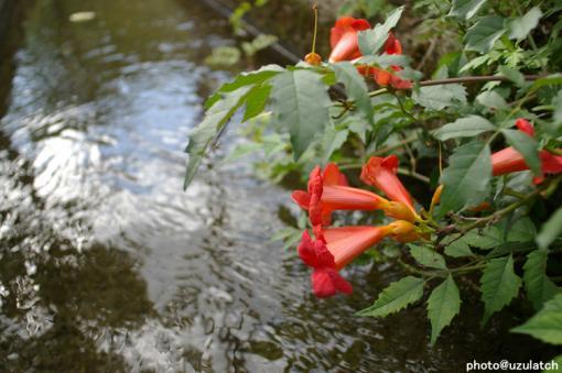 川の傍で咲く赤花
