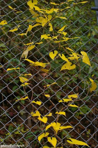 フェンスと紅葉した蔦