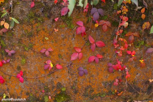 コンクリと紅葉した蔦