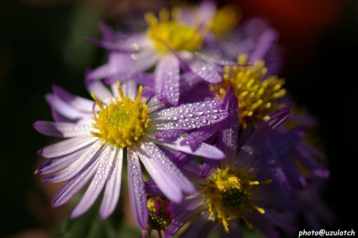うちの野紺菊