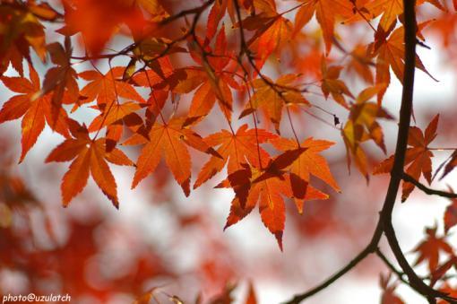 街路樹の紅葉01