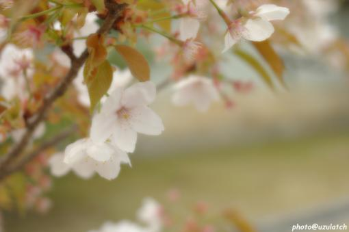 ソフト桜01