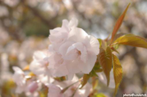 ソフト桜02