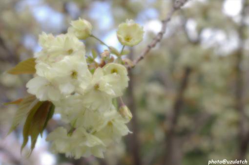 ソフト桜03