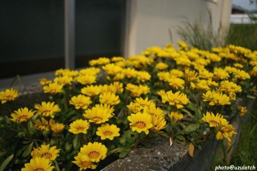 花壇の黄花
