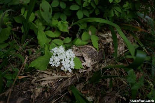 竹藪の白い花