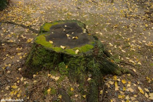 切り株と落ち葉