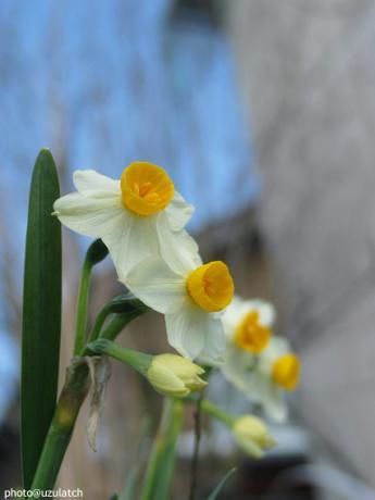 揃い咲き水仙