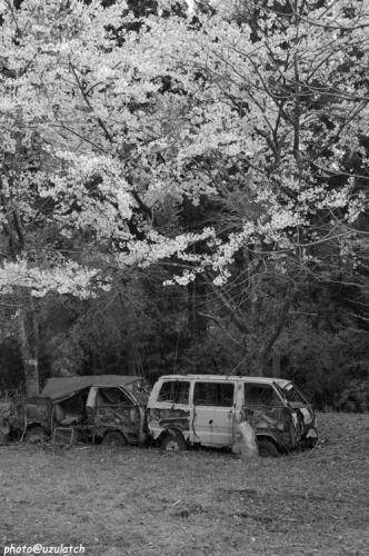 桜と廃車01