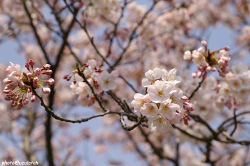 土手の桜01
