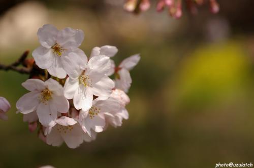 土手の桜02