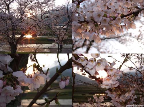 夕桜4コマ