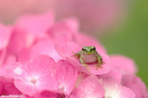 紫陽花とチビ雨蛙クン