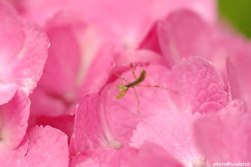 紫陽花とチビカマ