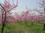 猿投山の麓の桃の花