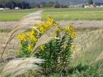 大和の山野草とも共存している背高泡立ち草