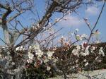 古木に咲く梅花を探して