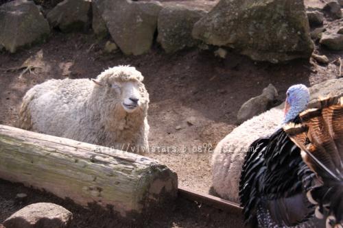 羊と七面鳥