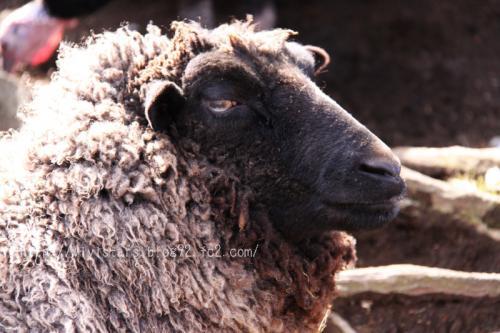 黒い顔の羊さん