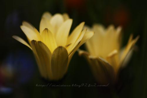 アフリカキンセンカ黄色