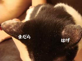 ぺーんの耳1