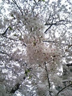 090329天守閣下の桜