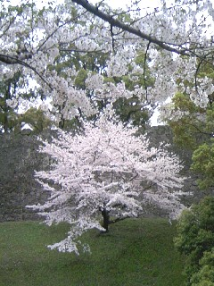 090329熊本城下の桜