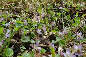 群れ咲くアオイスミレ
