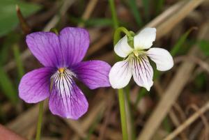 並んで咲くホソバキリガミネスミレ両親の花