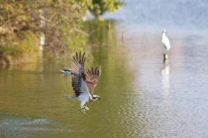 離水して羽ばたくミサゴ