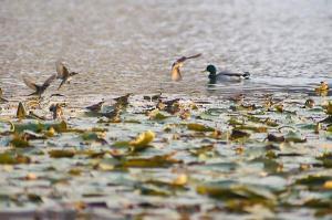 スイレンの葉で水のみ、水浴びするツグミ