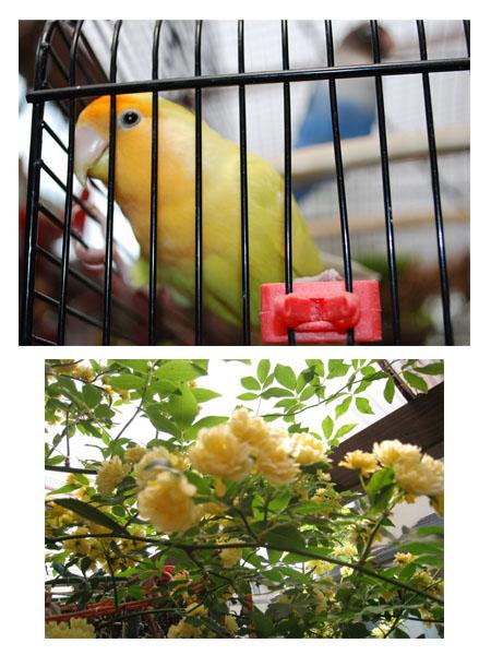 鳥とモッコウバラ