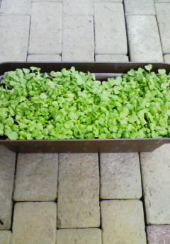 水菜~種まきから1週間~
