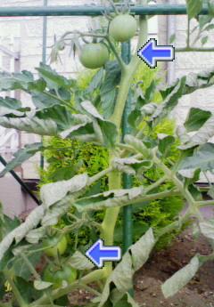 大玉トマトさん 3cm