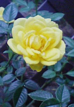 バラ 全盛