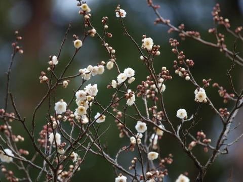 熱海梅園 冬至梅