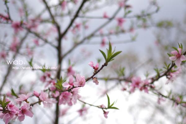 これって食べる桃の花なの??