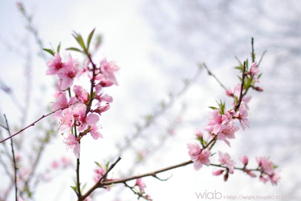 一本だけピョコっと桃の木がありました☆
