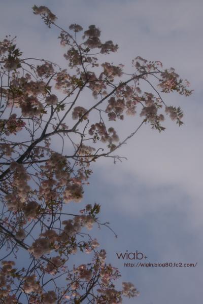桜って実は白っぽいんですね