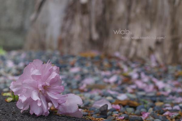 桜は潔く散りますが、その中でも八重桜は儚く散るそうです。。