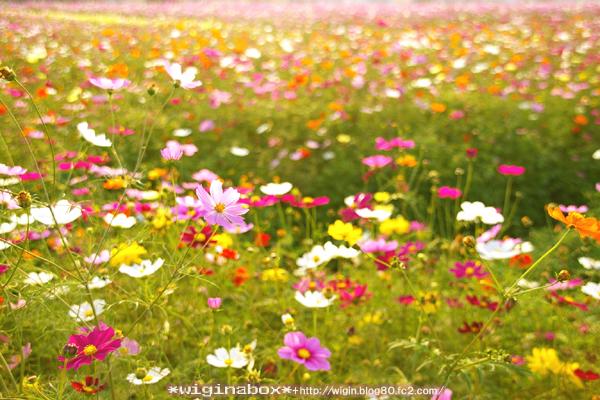 秋桜ってどこにでも咲けるんだね! 強い花だ。
