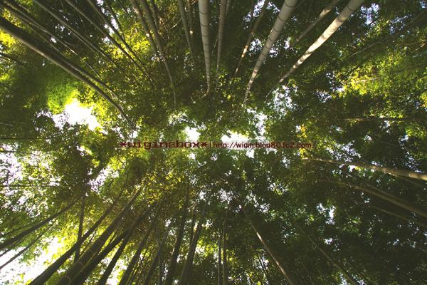 一面の竹林。