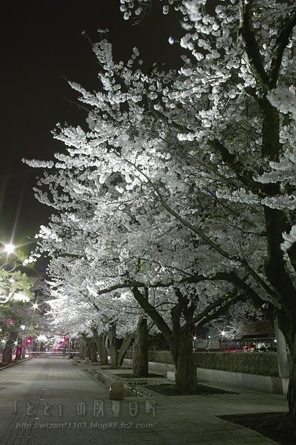 09十和田桜1