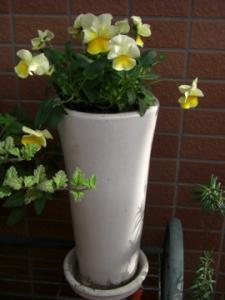 よく咲くスミレ2