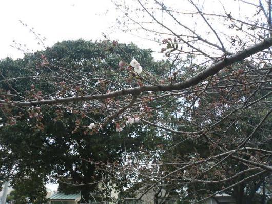 花見(五厘咲き)