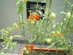 tomato1s.jpg
