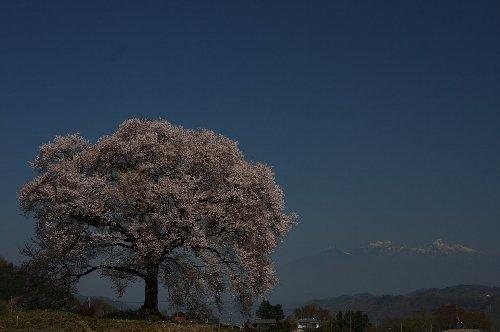 bl_9410 わに塚の桜
