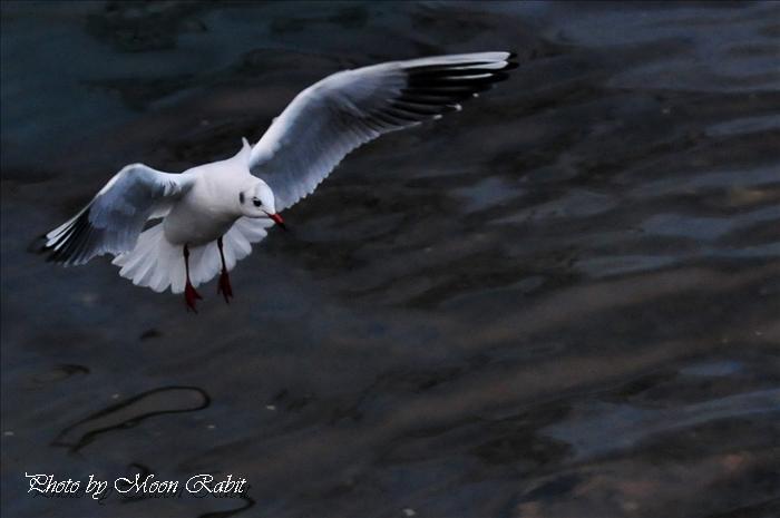 西条市の野鳥 北浜のカモメ(鷗) 西条市北浜南 2008年12月26日